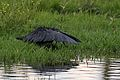 Black heron, Egretta ardesiaca, at Marievale Nature Reserve, Gauteng, South Africa (30157811401).jpg