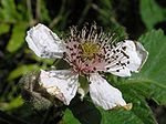 Blackberry flower 01.jpg