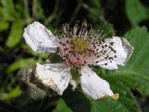 Black berry flower (Rubus fruticosus), Welling...