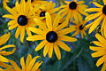 Blackeyed Susan 1.JPG
