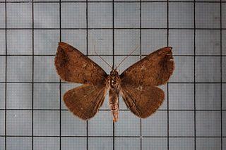 <i>Blasticorhinus ussuriensis</i> species of insect