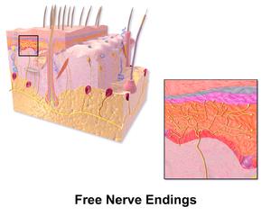 Free nerve ending - Illustration of free nerve endings