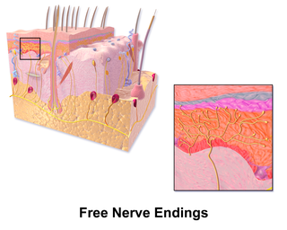 Free nerve ending Type of nerve fiber carrying sensory signals