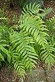 Blechnum novae-zelandiae kz02.jpg