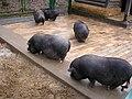 Blntp 060326 chinschweine.jpg