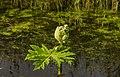 Bloemknop gewone berenklauw (Heracleum sphondylium). Locatie. Nationaal Park Lauwersmeer in Groningen.jpg