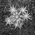 Bloemknoppen van Eryngium giganteum 'Miss Willmott's Ghost' 04-06-2019. (d.j.b). 01.jpg