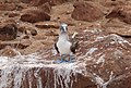 Blue-footed booby 03.jpg