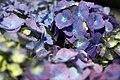 Blue-hydrangea-macro - West Virginia - ForestWander.jpg