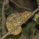 Blue-legged chameleon (Calumma crypticum) female Ranomafana.jpg