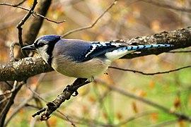 Blue Jay 2010-05-09.jpg
