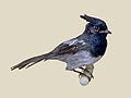 Blue Mantled Crested Flycatcher specimen RWD.jpg