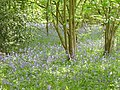 Bluebell Wood - geograph.org.uk - 1294958.jpg