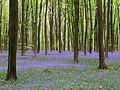 Bluebells in Micheldever Wood - geograph.org.uk - 165487.jpg
