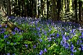 Bluebells woods.jpg