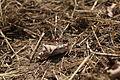 Blutroten Heidelibellen (Sympetrum sanguineum).jpg