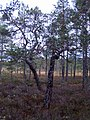 Bogg-pines 'dancing'.JPG