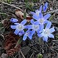Boissier's Glory-of-the-Snow (Scilla luciliae) - Kitchener, Ontario.jpg