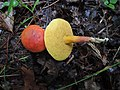 Boletus harrisonii 751929.jpg