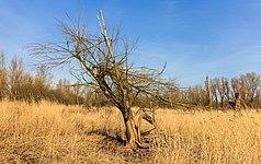Bomen hebben het moeilijk in het winderige klimaat op de voormalige zeebodem. Locatie, Oostvaardersplassen.jpg