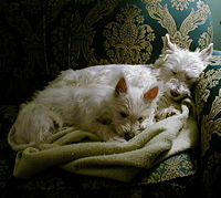 West Highland Terriers durmiendo.