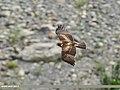 Booted Eagle (Hieraaetus pennatus) (38711934985).jpg