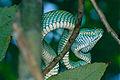 Bornean Keeled Green Pit Viper (Tropidolaemus subannulatus) female (13952321109).jpg