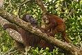 Bornean orangutan (Pongo pygmaeus), Tanjung Putting National Park 02.jpg