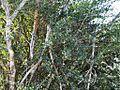 Boscia mossambicensis, habitus, naby Laer-Sabie.jpg