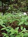 Botrychium virginianum natunohnwrb02.jpg