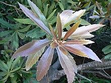Whorl Botany Wikipedia