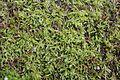 Brachythecium salebrosum (e, 113758-471210) 1409.JPG