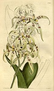Brassia maculata - Curtis' 41 pl. 1691 (1815).jpg