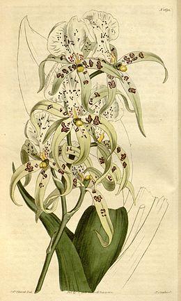 Brassia maculata - Curtis' 41 pl. 1691 (1815)