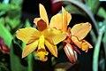 Brassolaeliocattleya Love Passion x Fuchs Orange Nuggett 0zz.jpg