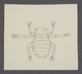 Braula - Print - Iconographia Zoologica - Special Collections University of Amsterdam - UBAINV0274 039 08 0002.tif