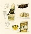 Bresadola - Stereum fuscum et Stereum hirsutum.png