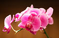 Bright Pink Orchid.jpg