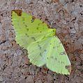 Brimstone Moth. Opisthograptis luteiolata - Flickr - gailhampshire.jpg