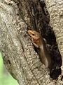 Broadhead Skink at Marais des Cygnes National Wildlife Refuge (9044043144).jpg