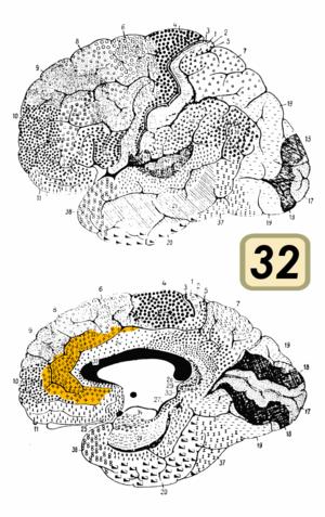 Brodmann area 32 - Brodmann area 32 (shown in orange)
