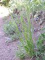 Bromus carinatus (3861052668).jpg