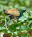 Bronze-winged Jacana Metopidius indicus male carrying hatchlings tucked under wings image by Vedant Kasambe 01.jpg