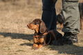BrownPolishScenthound-GONA-Inny Swiat wl.L.Stawiarski.jpg