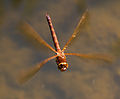 Brown Dragonfly 1 (7622685534).jpg