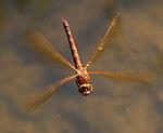 Brown Dragonfly 1 (7622685534).jpg