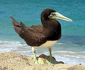 Brown Booby on أواهو (هاواي), هاواي