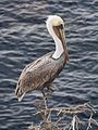 Brown pelican in La Jolla (70778).jpg