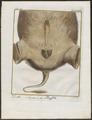 Bubalus spec. - geslachtsorganen - 1700-1880 - Print - Iconographia Zoologica - Special Collections University of Amsterdam - UBA01 IZ21200041.tif
