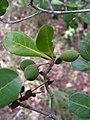 Buchenavia tetraphylla - Flickr - Tarciso Leão (4).jpg